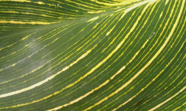 Green Leaf with Stripes